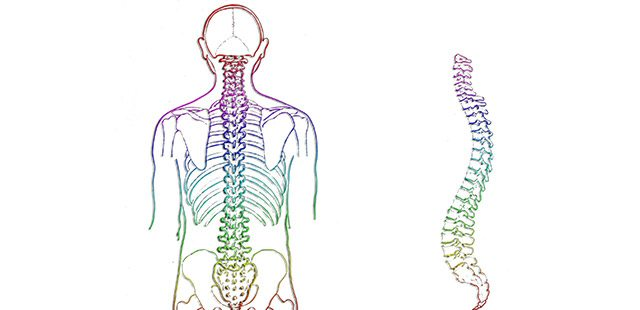 Chiropractor Spine posterior, lateral view